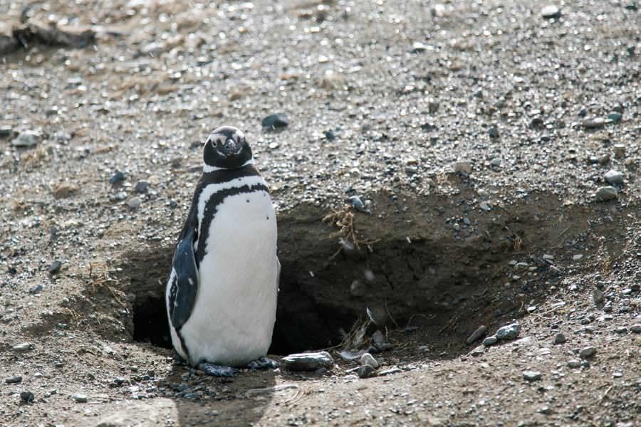 Isla Maddalena Pinguine   Roadtrip Chile und Argentinien   Patagonien Reise   Patagonien Bilder von Rolling Adventure