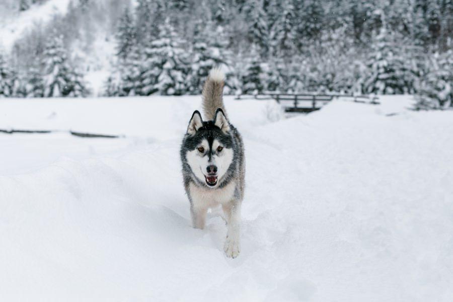 Husky im Winter