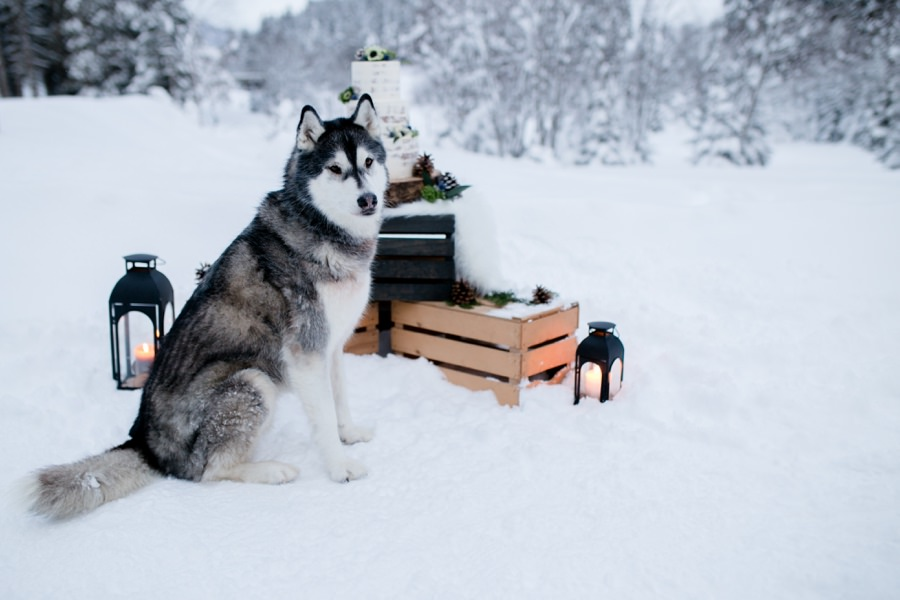 Husky, Winter, Hochzeit - die perfekte Kombi - Stefanie Reindl Photography